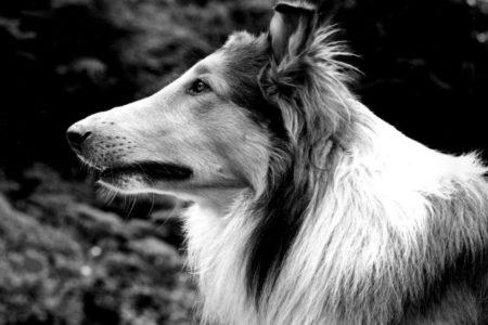 Pal, acteur de Lassie
